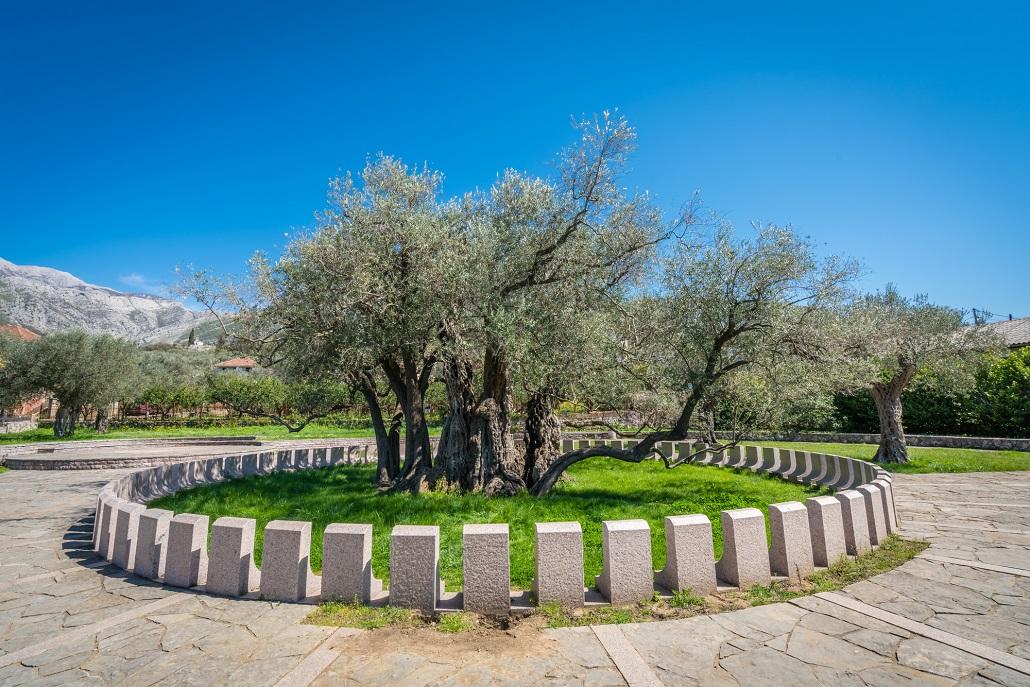 Cтарое оливковое дерево Европы возрастом более 2000 лет