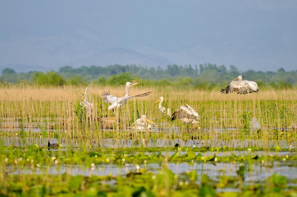 Пеликаны на Скадарском озере