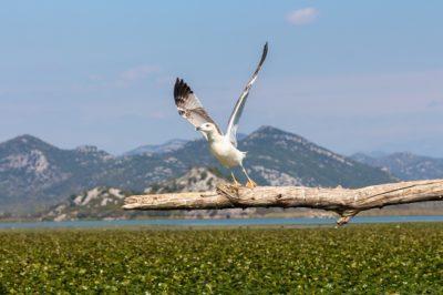 Чайка на Скадарском озере