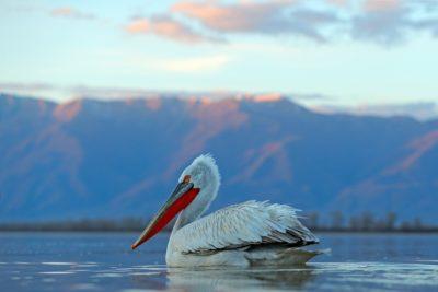 Кучерявый Пеликан