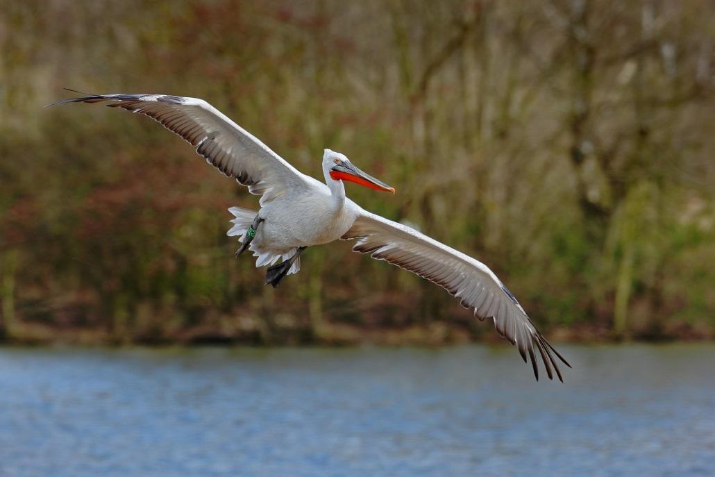 Flying White Pelican, Pelecanus erythrorhynchos, above the water